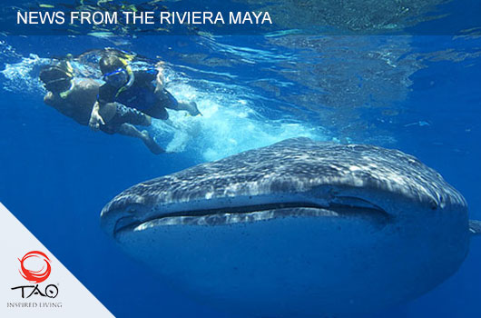 The Mexican Caribbean is renowned for the whale shark watching season, from May 16 til September 15